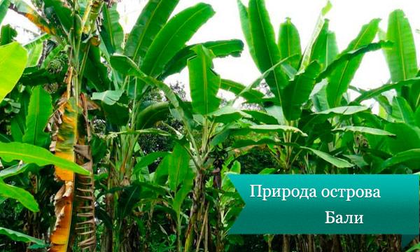 bali palma Природа острова Бали
